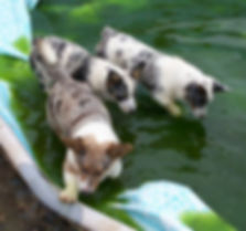 cowboy corgis in water