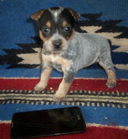 cute blue heeler puppy