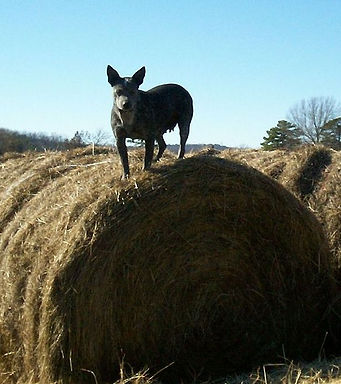 Australian Cattle Dog, Blue Heeler on hay