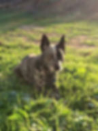 blue heeler laying in grass