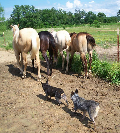 Miniature Australian Cattle Dogs working horses