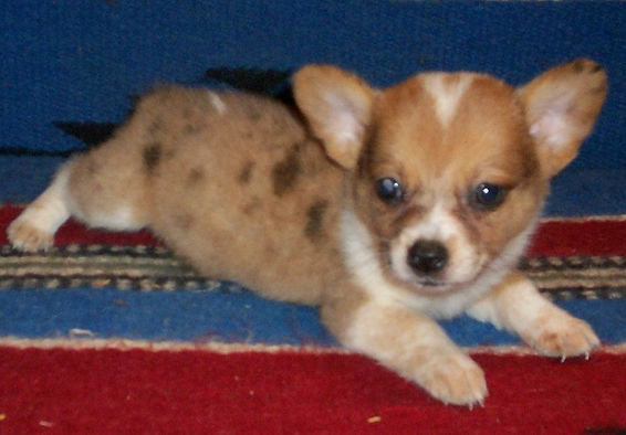 cowboy corgi puppy