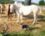 blue heeler ranger and horses