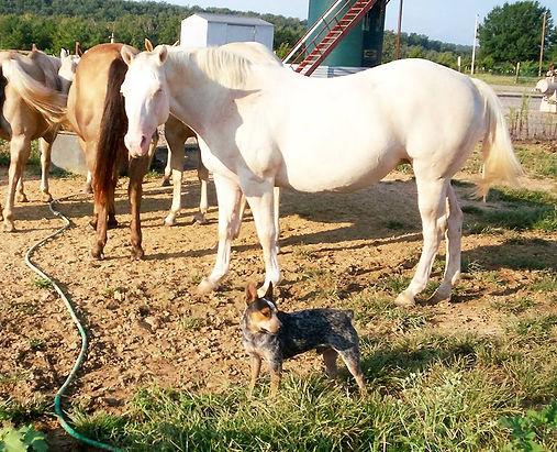 blue heeler ranger and horses