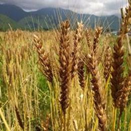 小麦穂202006.jpg