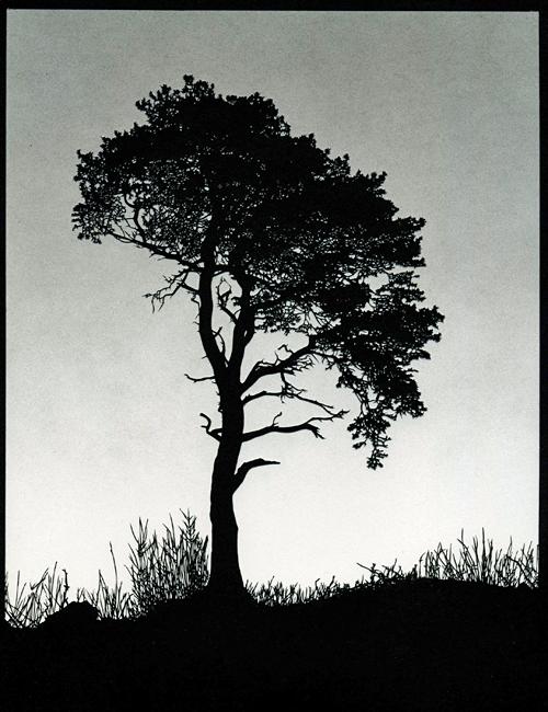Scots Pine (Grey Sky)