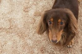 Pet Friendly Carpet in Santa Clarita