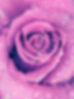 PurpleRose closeup.jpg