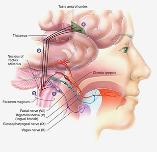 Neural pathways fro the tongue to the brain