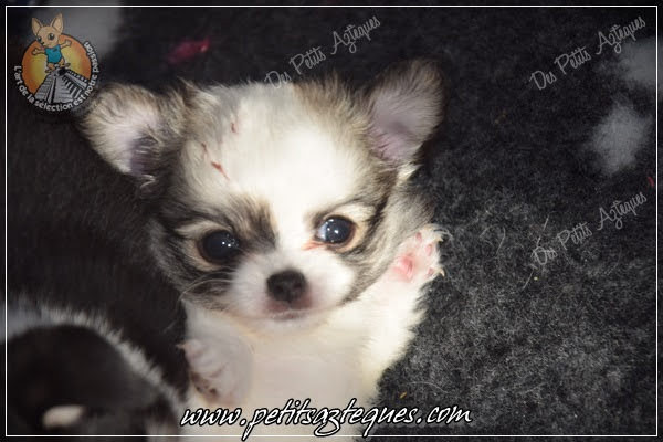 Chihuahua Des Petits Aztèques 581.JPG.jp