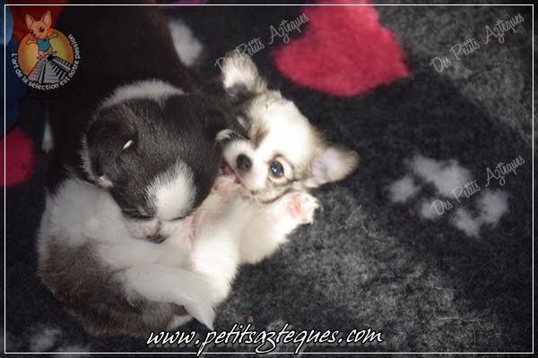 Chihuahua Des Petits Aztèques 579.JPG.jp