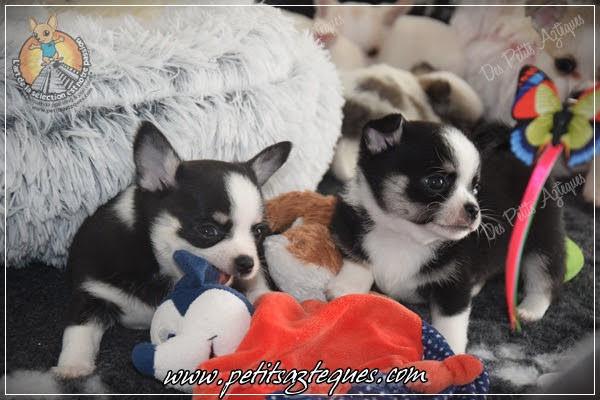Chihuahua Des Petits Aztèques 058.JPG.jp