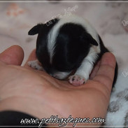 Chiot chihuahua - Femelle poil long - Très petit gabarit