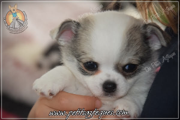 Chihuahua Des Petits Aztèques 225.JPG.jp