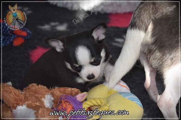 Chihuahua Des Petits Aztèques 683.JPG.jp
