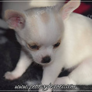 Chihuahua Des Petits Aztèques 638.JPG.jp