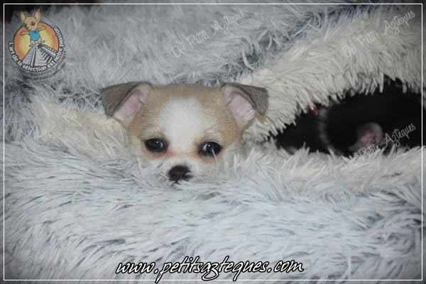 Chihuahua Des Petits Aztèques 758.JPG.jp