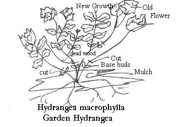 hydrangea copy.bmp