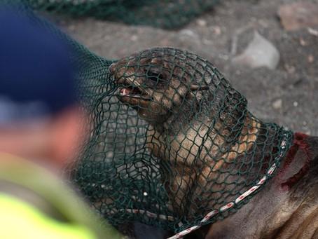 На Сахалине волонтёры спасли 64морских котиков отпластикового мусора