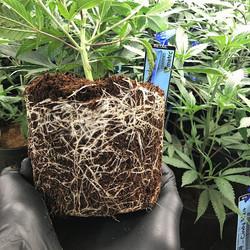Happy roots, happy morning! #tananaherbc
