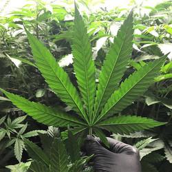 Big happy fan leafs soaking in that ligh