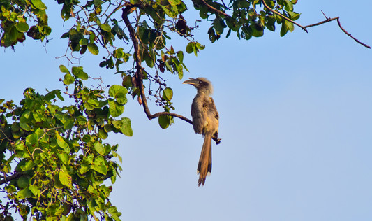 Hornbill.jpg