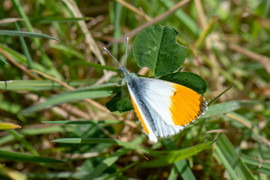 Orange-tip butterfly  DSC_4260.jpg