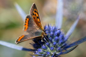 Small Copper Butterfy