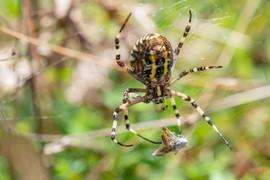Wasp Spider and grasshopper prey