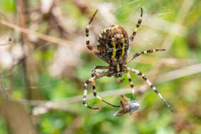 Wasp Spider and grasshopper prey