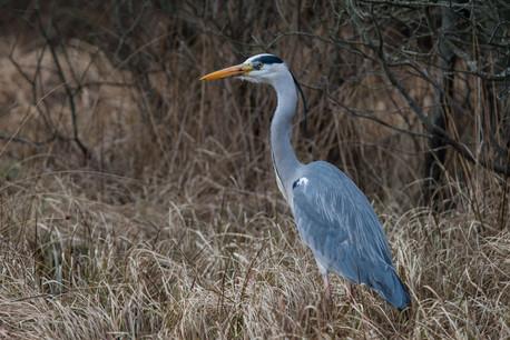 Grey Heron, Ardea cinereal,