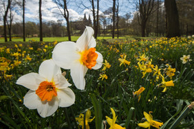 Daffodils, Seaton Park, Aberdeen.