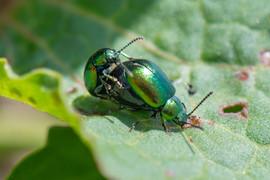 Green metalic beetles  DSC_4336.jpg