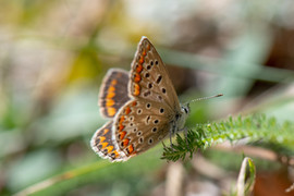 Brown Argus Butterly