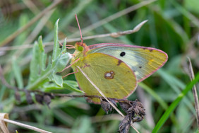 Berger's Clouded Yellow Butterly
