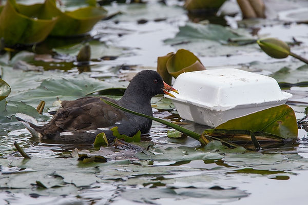 Coot fast food, coot