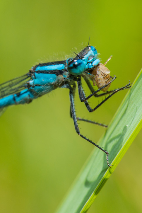 Common Blue Damselfly close up