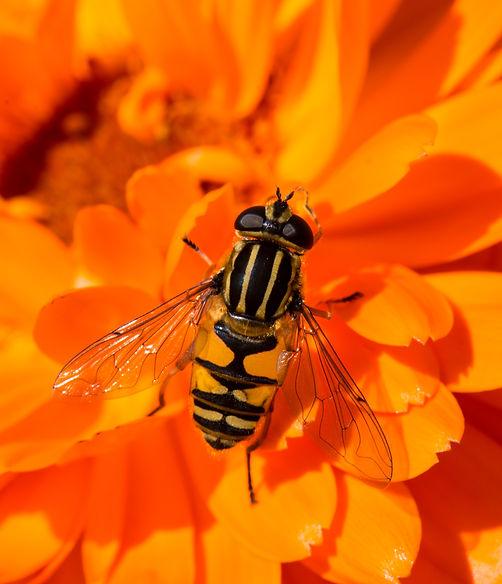 Marmalade Hoverfly, Hoverfly