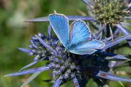 Common Blue Butterfy