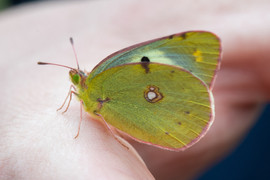Berger's Clouded Yellow Butterfly