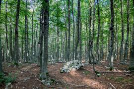 Beech Woodland
