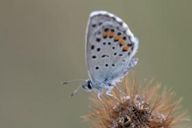 Baton Blue Butterfly