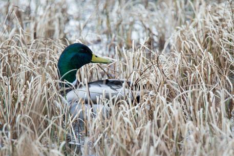 Mallard Duck, male.  Anas platyrhynchos