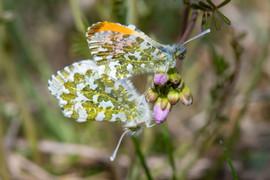 Orange-tip butterflies    DSC_4291.jpg