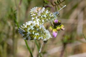 Orange-tip butterflies  DSC_4285.jpg