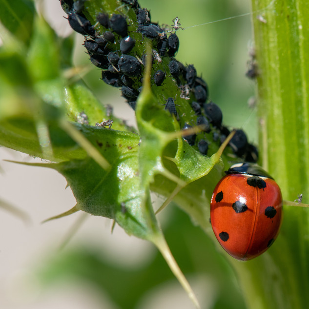 Seven-spot ladybird and aphids