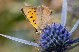 Small Copper Butterfly underside