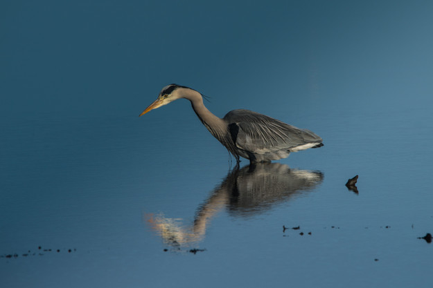 Grey Heron, Ardea cinereal