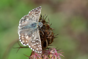 Southern Grizzled Skipper Butterfly