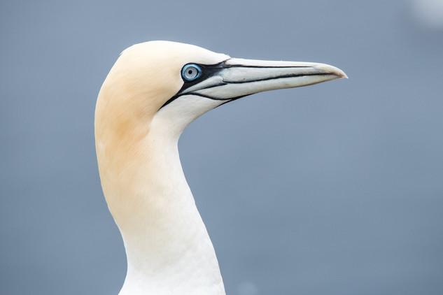 Northern Gannet close up
